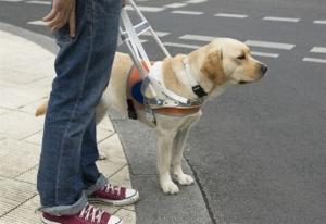 Особенности провода собак-поводырей